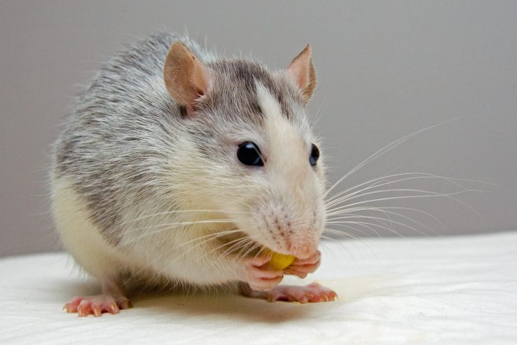 lab rat or mouse eating food